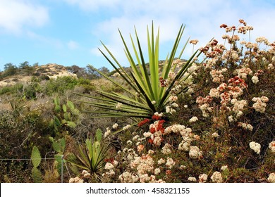 A yucca plant with other native plants at Torrey Pines State Natural Reserve, San Diego, California, USA