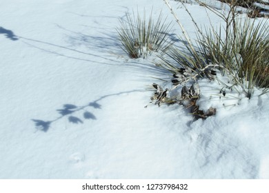 Yucca plant in the snow in a New Mexico winter