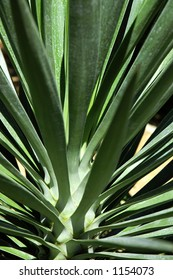 Yucca plant in Texas