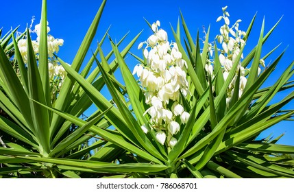 Yucca plant .white exotic flowers with long green leaves on blue sky  background