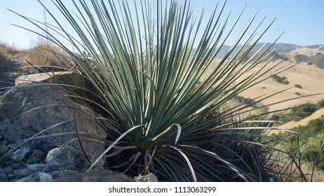 Yucca Plants on the Mountainside