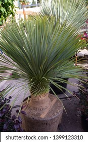 """The yucca rostrata in pot, is a beautiful semi-succulent evergreen ornamental plant of the Liliaceae family. Also known as """"elephant foot"""", it has a suitable ornamental and decorative appearance"""