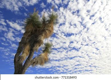 Yucca Tree Joshua Tree Blue Sky