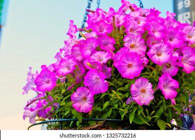 Yufuin ,Yufu ,Oita ,Japan - May 9th,2015 : Close up beautiful blooming sweet pink Common garden Grandiflora Petunias flower (Petunia x atkinsiana) in hanging basket use as ornamental flowering plant