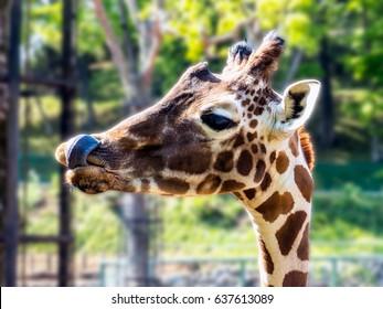 YUM!. Young Giraffe after feeding. Tokyo, Japan