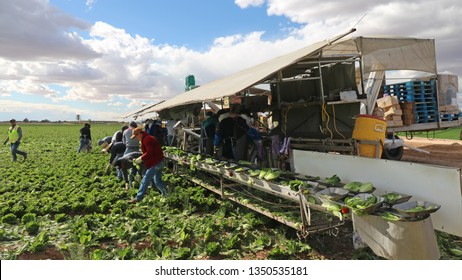 Yuma, Arizona/USA - Feb 18 2019: Migrant Workers Harvesting Romaine Lettuce in Farmer's Field