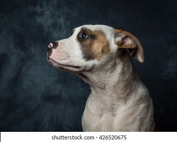 Yuna The American Bulldog Puppy Aged Just 5 Months