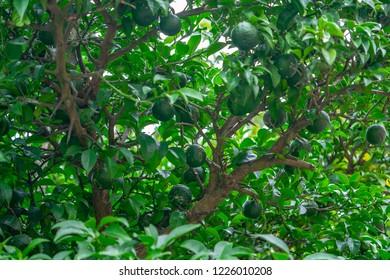 Yuzu is citrus fruit; fruit produced by a tree belonging to the Citrus family  (oranges, limes, lemons, grapefruit, etc.