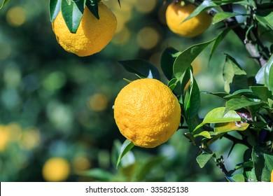 Yuzu: Citrus junos is a kind of Japanese citrus