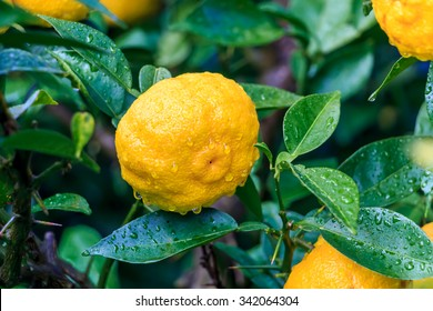 Yuzu: Citrus junos is a kind of Japanese citrus
