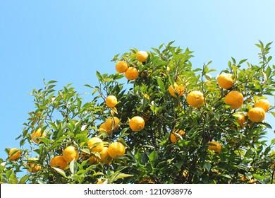 Yuzu - Japanese lemon