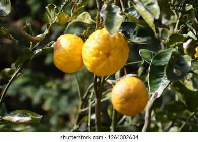 Yuzu orange fruits