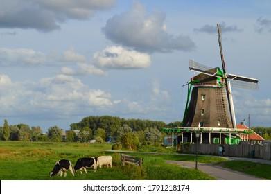 ZAANSE SCHANS, NETHERLANDS - AUGUST 24TH, 2018: Historic windmill and Holstein Friesian cattle (Dutch breed) in Zaanse Schans