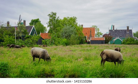 Zaanse Schans, Netherlands - May 24 2019:  Sheep roaming for mid afternoon snack at Zaanse Schans village.