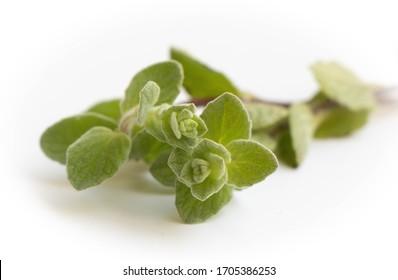 Za'atar plant closeup, Origanum syriacum,  Middle Eastern herb