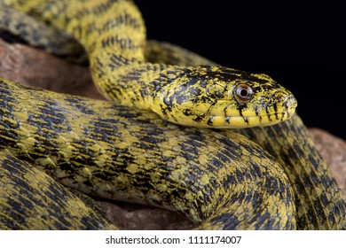 The Zadar dice snake (Natrix tessellatus flavescens) is endemic to the Zadar lake region in Croatia. Classified as non-venomous, they producesa potent antihemorrhagin.