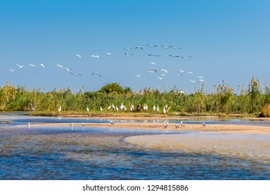 Zambezi river bank with a big flock of Yellow-billed Storks (Mycteria ibis)