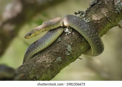Zamenis longissimus Elaphe longissima užovka stromová Couleuvre d'Esculape Wąż Esculapa Äskulapnatter Aesculapian Snake