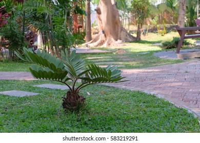 Zamia furfuracea tree ingarden.