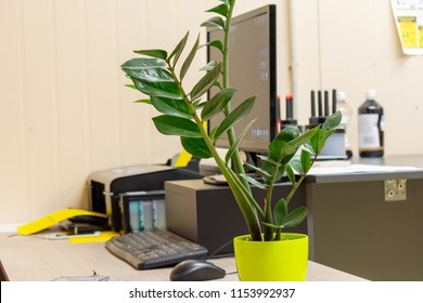 Zamioculcas. Dollar tree  in green flower pot placed on wooden table