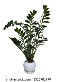 Zamioculcas, interior plant isolated on white background - Shutterstock ID 1316981999