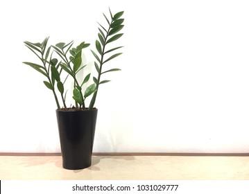 Zamioculcas zamifolia, Emerald Palm in a black pot isolated on white background.