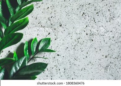 Zamioculcas Zamifolia Indoor Plant. Zanzibar Gem, ZZ Plant home plant on gray concrete background. Home plant with green leaves. Concept of home gardening. copy space