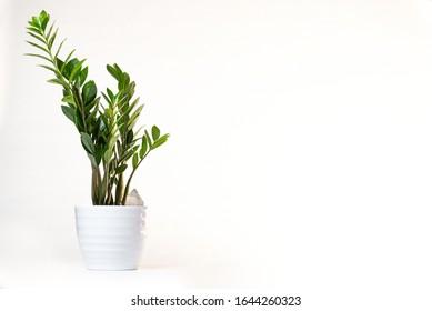 Zamioculcas Zamiifolia (AKA: ZZ PLANT) dans un pot blanc, isolé sur fond blanc, avec place pour texte/espace pour copie, et un cristal sortant du pot.
