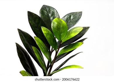 Zamioculcas zamiifolia black leaf or Zanzibar Gem on white background