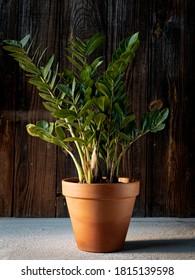Zamioculcas (ZZ plant, aroid palm or zanzibar gem) in terracotta flower pot on dark rustic wooden background. Indoor green plants, home decoration