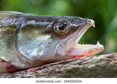 Zander in detail, the Fish from freshwater Deep, Sander lucioperca
