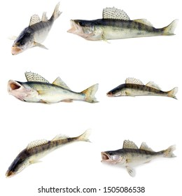 Zander fish set.Predator fish freshwater species of perch for seafood restaurant fish food Isolated object On White Background.