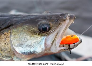 Zander fish. Spinning fishing