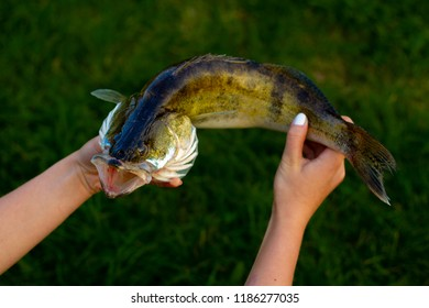 Zander. Fisherman trophy- zander fish. Fishing, good catch. Carnivorous fish.