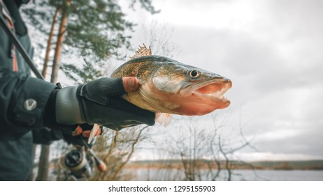 Zander in the hand of an angler. Catch and release.