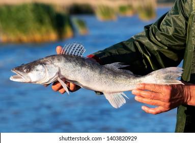 Zander (Sander lucioperca)  from Lake Balaton, Hungary