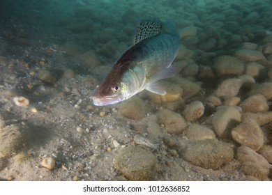 The zander (Sander lucioperca) is swimming in the freshwater with pebbly bottom