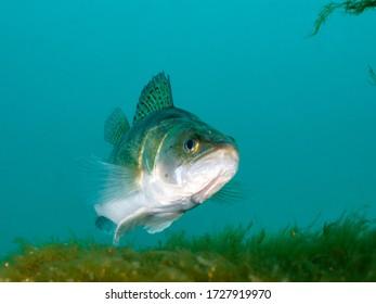 Zander under the water, wildlife animal