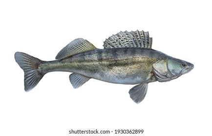 Zander. Walleye fish isolated on white background. Sander pikeperch fishing