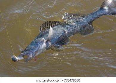 zander,spinning fishing,zander in water