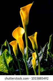Zantedeschia aethiopica, calla lily, It is a rhizomatous herbaceous perennial plant, evergreen where rainfall and temperatures are adequate