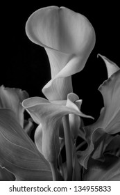 Zantedeschia aethiopica (common names calla lily, arum lily; a