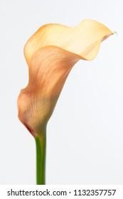 Zantedeschia Cameleon Flower