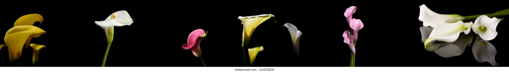 Zantedeschia of different colors on a black background.