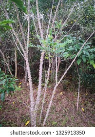 Zanthoxylum avicennae plant with green leaves
