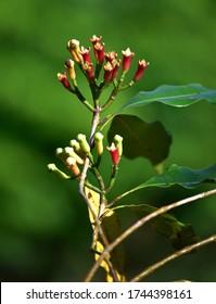 Zanzibar cloves ready to pick from the branch