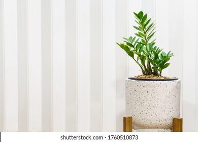 Zanzibar gem tree in a white stone pot