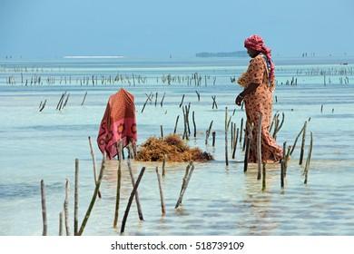 ZANZIBAR, TANZANIA - OCTOBER 25, 2014: Unidentified woman harvesting cultivated seaweed in the shallow, clear coastal waters of Zanzibar island