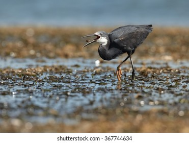 Zanzibar's Dimorphic Egret  Egretta dimorpha, wading bird on hunt during low tide. Grey plumage variant,opened beak with prey, uncovered coral reef lit by afternoon sun, dark ocean in background.