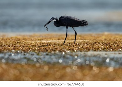 Zanzibar's Dimorphic Egret  Egretta dimorpha, wading bird on hunt during low tide. Grey plumage variant,with long worm in beak, uncovered coral reef lit by afternoon sun, dark ocean in background.